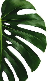 Monstera zielony liść palmy na białej powierzchni. wysokiej jakości zdjęcie