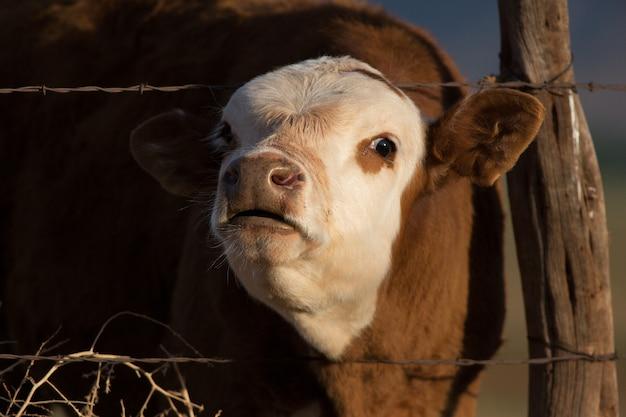 Mooing calf on ranch