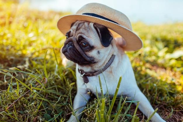 Mops pies siedzi przez rzekę w kapeluszu. szczęśliwy szczeniak czeka rozkaz mistrza. pies chłodzi na zewnątrz