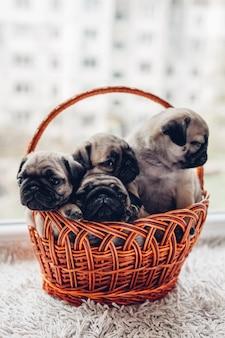 Mops pies szczenięta siedzi w koszu. małe szczeniaki zabawy. hodowla psów