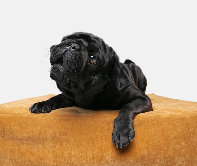 Mops pies towarzysz na białym tle na białej ścianie