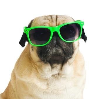 Mops w okularach przeciwsłonecznych