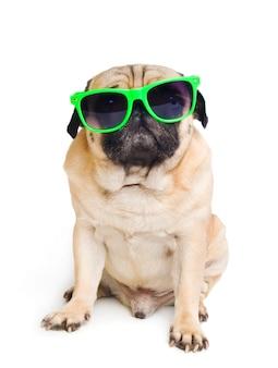 Mops z okularami przeciwsłonecznymi na bielu