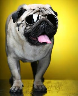 Mops z okularami przeciwsłonecznymi. zabawna sesja. ścieśniać