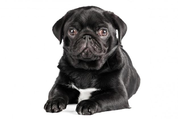 Mopsa pies odizolowywający na białym tle