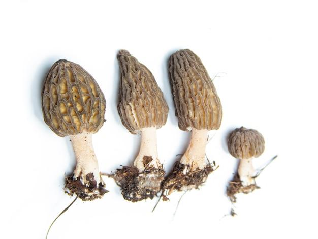 Morel pieczarki na białym tle. izoluje grzyby fotograficzne z bliska. grzyb narodowy wielkiej brytanii i stanu minnesota.