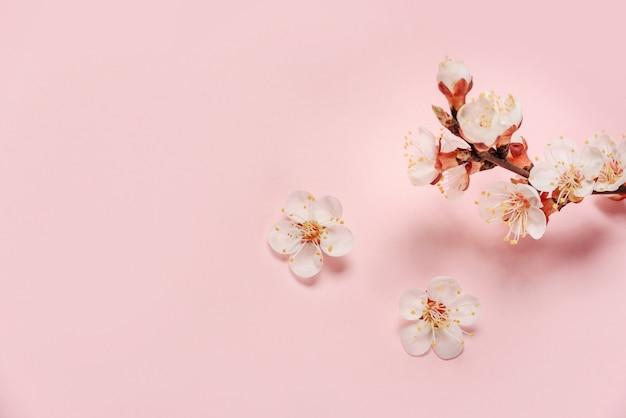 Morela kwitnie na różowej ścianie z przestrzenią dla teksta.