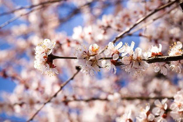 Morela w wiosennym ogrodzie podczas kwitnienia, małe białe kwiaty z czerwonymi kwiatami na tle wiosny słoneczna pogoda