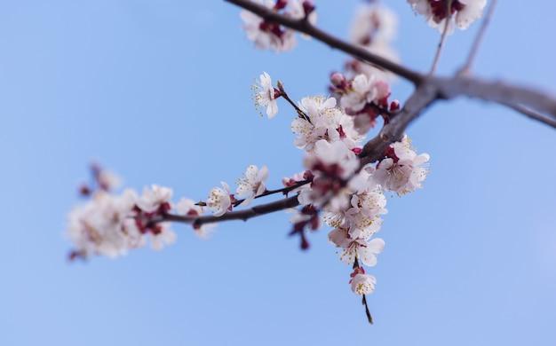 Morele kwitnące w ogrodzie piękne wiosenne sezonowe tło dobre na kartkę z życzeniami wesele i...
