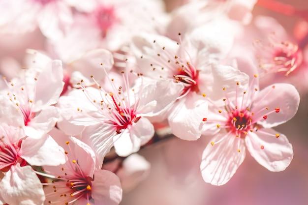 Morelowe drzewo na wiosnę z pięknymi kwiatami. prace ogrodowe. selektywne ustawianie ostrości.