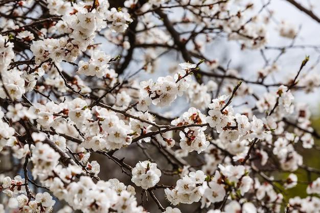 Morelowego drzewa kwiatu sezonowa kwiecista natura