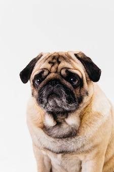 Morelowy pies mops z płaską twarzą i smutnymi oczami