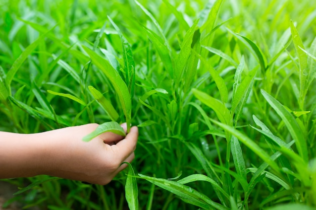 Morning glory to roślina w ogrodzie. (convolvulaceae)