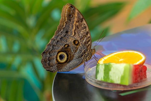 Morpho menelaus to gatunek motyli siedzących na liściach roślin zielonych w parku.