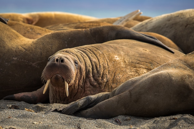 Mors w grupie morsów na prins karls forland, svalbard