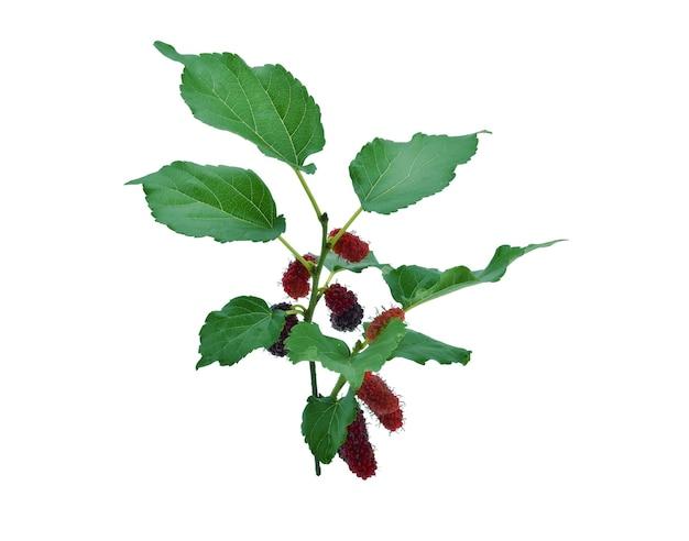 Morwa z liściem na białym tle
