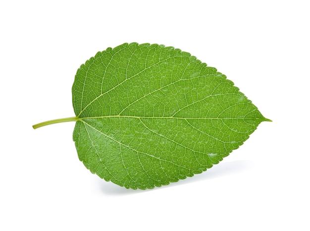 Morwa z liściem z kroplami wody na białym.