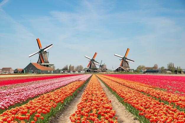 Morze kwiatów z wiatrakiem w holandii