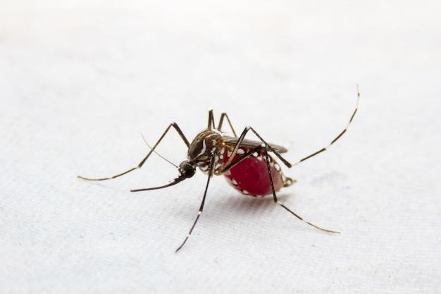 Mosquito jest nosicielem malarii / zapalenia mózgu / dengi