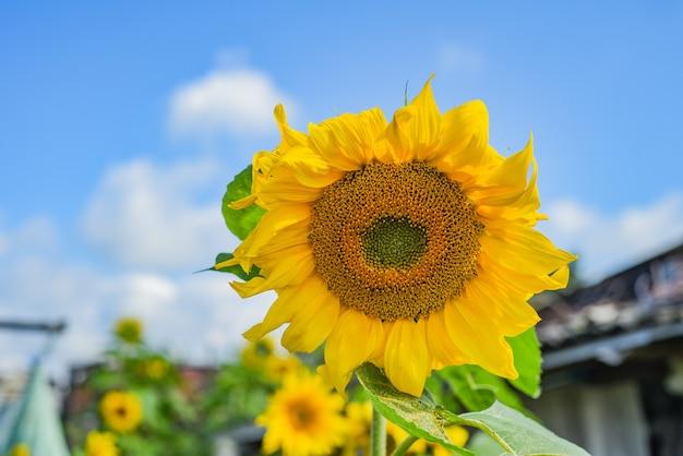 Most żółty słonecznik na tle nieba