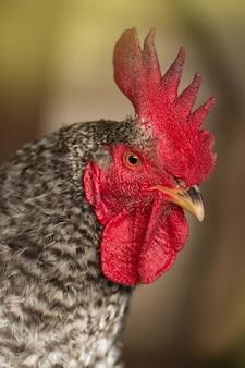 Motley z kurczaka w przyrodzie