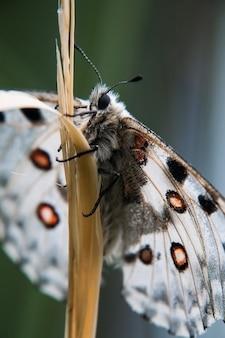 Motyl apollo na trawie. migawka makro.