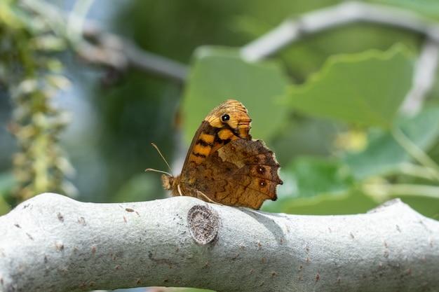 Motyl cętkowany drewna siedzący na gałęzi drzewa