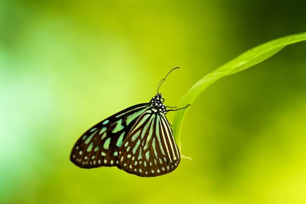 Motyl ciemnoniebieski tygrys (tirumala septentrionis) mający odpoczynek na trawie. kuala lumpur, malezja.