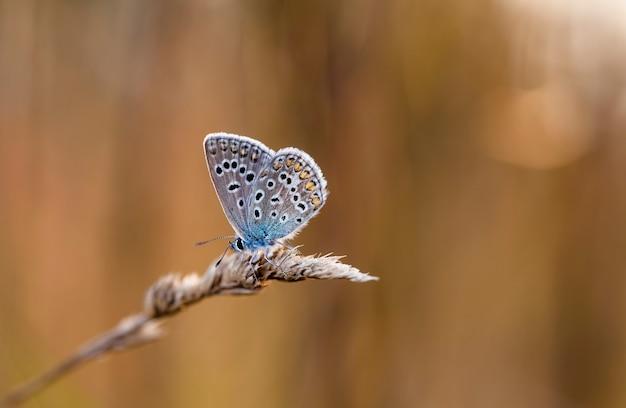 Motyl coenonympha na polu w rodzimym środowisku