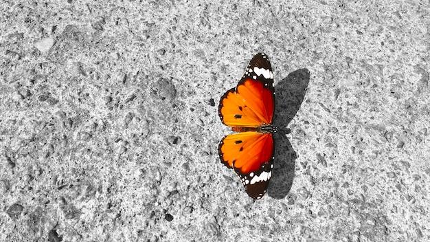 Motyl danaus chrysippus, zwykły tygrys, spoczywający na betonowej ścianie: jego piękno i elegancja w przeciwieństwie do szorstkości surowca