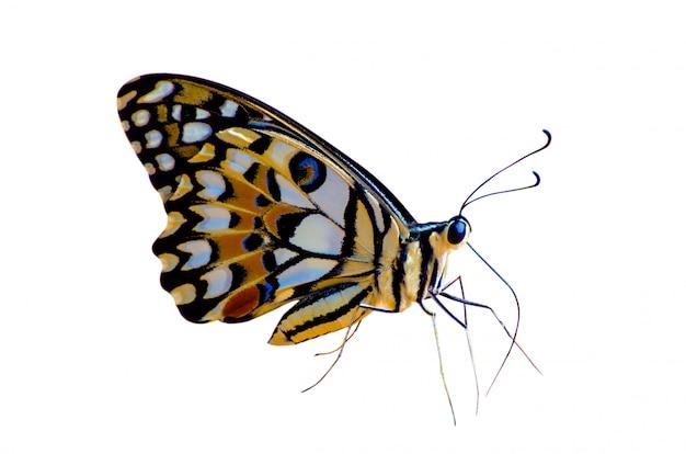 Motyl dostrzega pomarańczowy żółty biały tło odizolowywa
