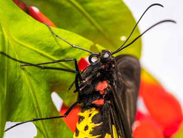 Motyl golden birdwing na zielonych liściach, motyl golden birdwing siedzący na liściu w lesie deszczowym, można go łatwo znaleźć w azji.