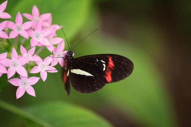 Motyl (heliconus melpomene) na różowym kwiacie.