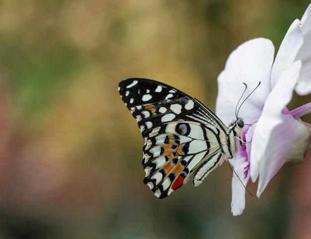 Motyl i purpurowy kwiat latają w ogrodzie i żywią się nektarem