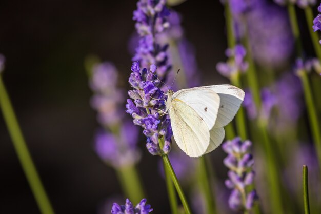 Motyl kapuściany na lawenda w ogrodzie