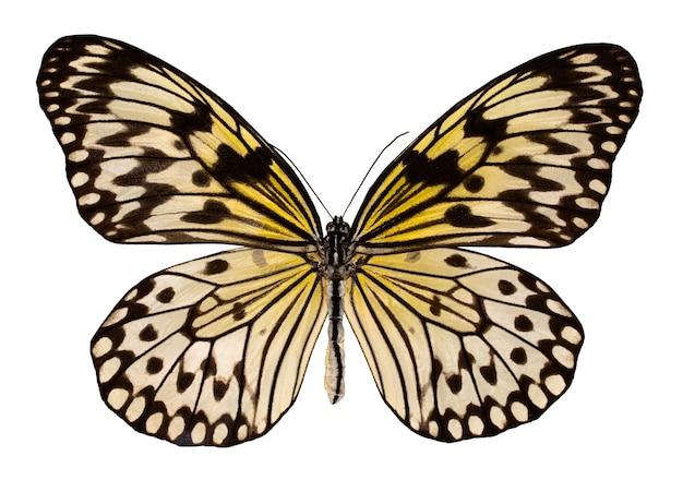Motyl kolor, na białym tle. idea leuconoe.