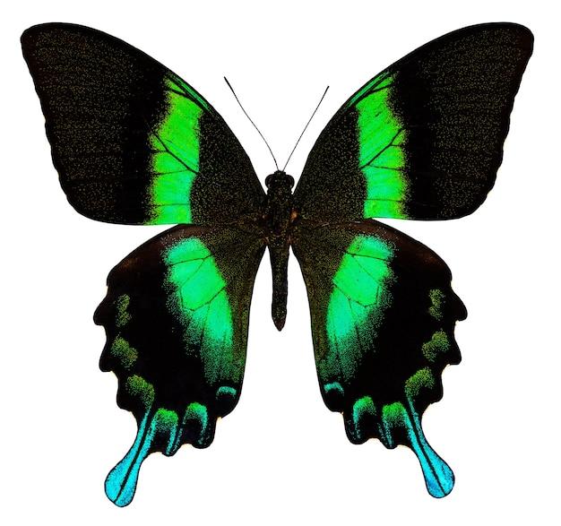 Motyl kolor, na białym tle. papilio maacki.