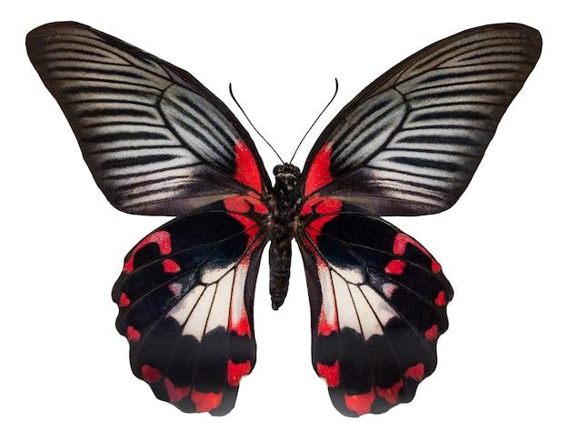 Motyl kolor, na białym tle. papilio rumanzovia