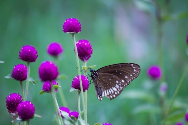 Motyl kruk na kwiat