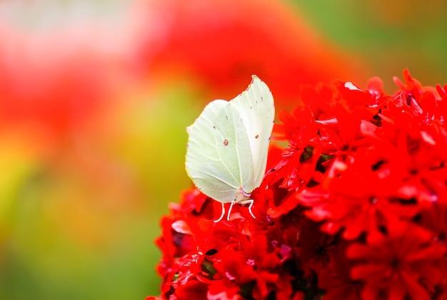 Motyl limonit pospolita siarka gonepteryx rhamni na kwitnącej roślinie lychnis chalcedonica