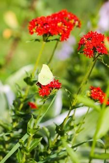 Motyl limonit pospolita siarka gonepteryx rhamni na lychnis chalcedonica