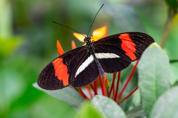 Motyl mały listonosz na kwiatek, makro bliska