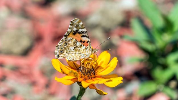 Motyl monarcha na kwiat kosmos w soczi, rosja.