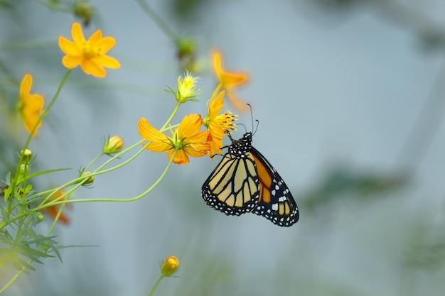 Motyl monarcha południowego (danaus erippus)