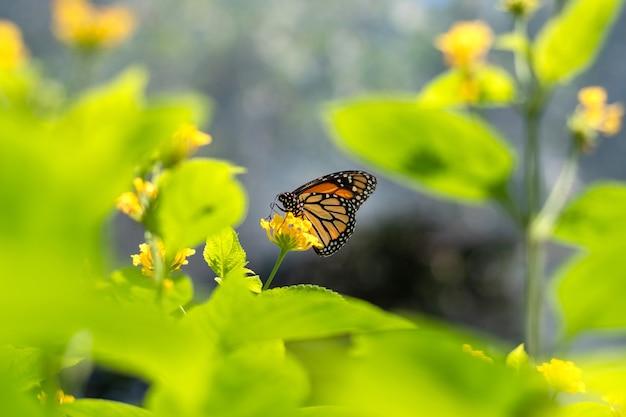 Motyl monarcha siedzący na żółtym kwiecie na zewnątrz