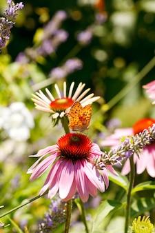 Motyl na echinacea kwiacie