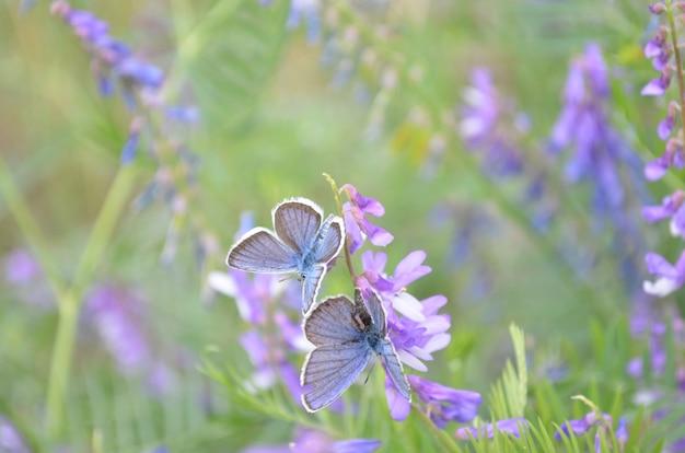 Motyl na fioletowy kwiat kwiat, makro, backgroun