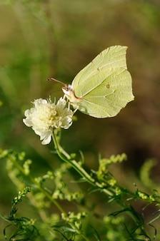 Motyl na kwiatku. siarka. gonepteryx rhamni