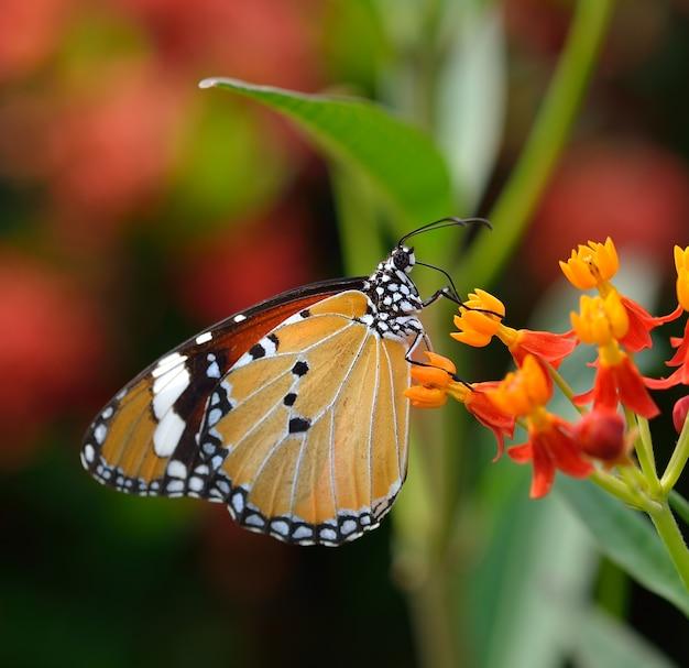 Motyl na pomarańczowym kwiacie