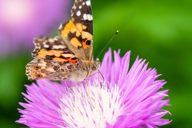 Motyl na purpurowy kwiat z zielonym miękkim tłem za nim